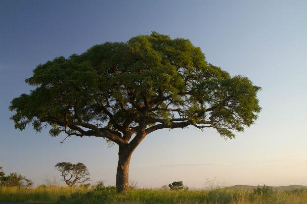 marual-tree