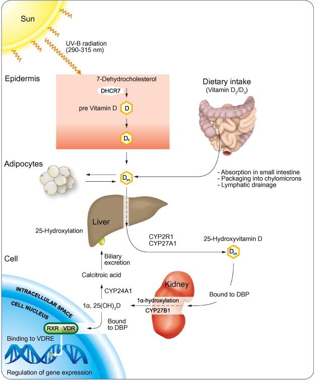 sintesis-vitamina-d